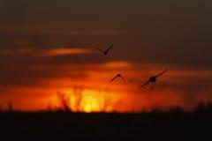 Siluetas de los martins de la arena en la puesta del sol Fotografía de archivo libre de regalías