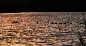 Siluetas de los pájaros que nadan en el lago en la puesta del sol Fotografía de archivo libre de regalías
