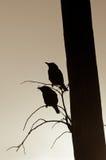 Siluetas de Starlings Fotografía de archivo libre de regalías