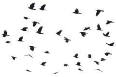 Siluetas de volar de los cuervos Imagen de archivo
