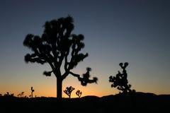 Siluetas del árbol de Joshua Fotografía de archivo libre de regalías