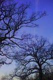 Siluetas del árbol del invierno Fotos de archivo