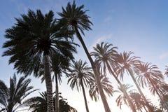 Siluetas del grupo de las palmeras en la puesta del sol Fotografía de archivo