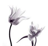 Siluetas del tulipán en blanco Fotografía de archivo libre de regalías