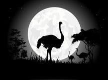 Siluetas hermosas de la avestruz con el fondo gigante de la luna Fotos de archivo