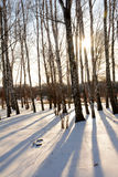 Siluetas hermosas del abedul desnudo en invierno en la puesta del sol Imagenes de archivo