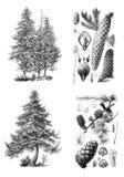 Siluetas retras del vintage de los árboles de un pino del europeo Foto de archivo libre de regalías