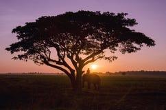 Siluetee el árbol grande con el campo del arroz en la puesta del sol Fotos de archivo