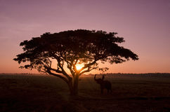 Siluetee el árbol grande con el campo del arroz en la puesta del sol Imagen de archivo
