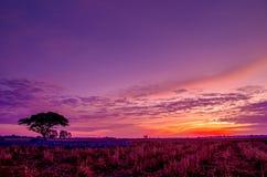 Siluetee el árbol grande con el campo del arroz en la puesta del sol S vibrante Imagenes de archivo