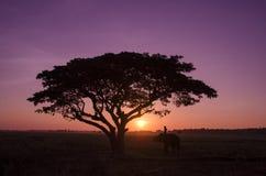 Siluetee el árbol grande con el elefante y el mahout en la puesta del sol Imagenes de archivo