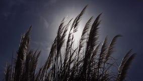 Siluetee el estípite plumoso mullido espigado del viento en los sunlights contra el cielo azul almacen de metraje de vídeo