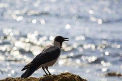 Siluetee el pájaro negro y gris como cuervo en la playa cerca del mar fotos de archivo