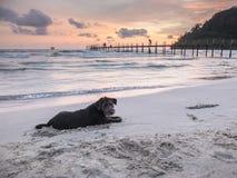 Siluetee el retrato de un terrier de Yorkshire negro en la playa, jugando por la arena del empuje con el cielo crepuscular perfec Fotos de archivo libres de regalías