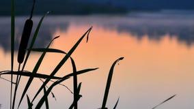 Siluetee la espadaña en el río de la puesta del sol, tronco que crece el agua cercana metrajes