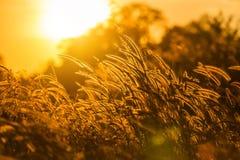 Siluetee la hierba de fuente tropical de la flor de la hierba o del pennisetum del setaceum en puesta del sol Fotografía de archivo