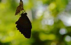 Siluetee la metamorfosis de la mariposa del capullo y prepárese a volar en la línea de ropa de aluminio en jardín imagenes de archivo