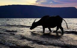 Siluetee la vaca del buey que camina en la playa de la orilla de mar que se lava los pies con agua del océano Imágenes de archivo libres de regalías