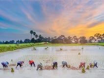 Siluetta astratta del tramonto con la pratica dell'agricoltore, un metodo antico, alla piantagione, giacimento verde del risone c Immagine Stock Libera da Diritti