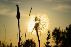 Siluetta capa del dente di leone sui raggi di sole di tramonto Fotografia Stock Libera da Diritti