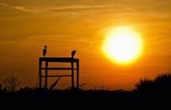 Siluetta degli aironi al tramonto Immagine Stock