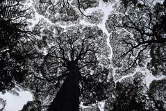 Siluetta degli alberi di gomma Fotografia Stock