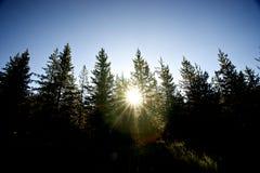 Siluetta degli alberi di pino Fotografie Stock