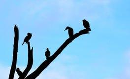 Siluetta degli uccelli che si siedono sui rami dell'albero contro il fondo del cielo blu Fotografie Stock