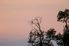 Siluetta degli uccelli del corvid che roosting negli alberi al crepuscolo Fotografia Stock Libera da Diritti
