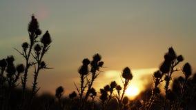 Siluetta dei cardi selvatici al tramonto video d archivio