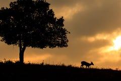 Siluetta dei cervi del maiale Fotografia Stock