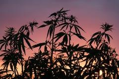 Siluetta dei cespugli della cannabis contro lo sfondo del tramonto o dell'alba Piante selvatiche della famiglia di canapa Fotografia Stock Libera da Diritti