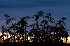 Siluetta dei cespugli della cannabis contro lo sfondo del tramonto o dell'alba Piante selvatiche della famiglia di canapa Fotografie Stock Libere da Diritti