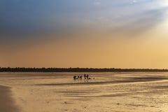 Siluetta dei cocklers che raccolgono cuore edule alla spiaggia nell'isola di Orango al tramonto, in Guinea-Bissau Fotografie Stock