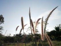 Siluetta dei fiori dell'erba Fotografia Stock