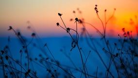 Siluetta dei fiori e delle piante secchi su un tramonto del fondo Fotografia Stock Libera da Diritti