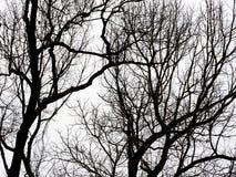 Siluetta dei rami di albero Immagine Stock