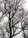 Siluetta dei rami di albero Fotografia Stock Libera da Diritti
