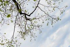 Siluetta dei rami di albero contro il chiaro cielo Fondo organico naturale Concetto della molla, stagioni, tempo Per moderno Fotografia Stock