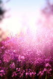 Wildflowers lilla Fotografie Stock Libere da Diritti
