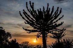 Siluetta del cactus impressionante del candelabro con il tramonto in Angola Foto presa alla fortezza di Miguel del sao a Luanda Immagine Stock Libera da Diritti