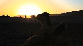 Siluetta del cammello stock footage