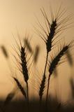 Siluetta del campo di frumento Fotografia Stock Libera da Diritti