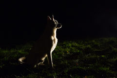 Siluetta del cane alla notte fotografia stock libera da diritti