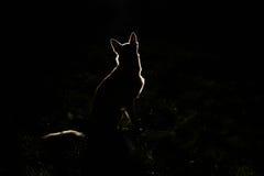 Siluetta del cane alla notte fotografia stock