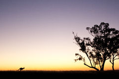 Siluetta del canguro al tramonto Fotografia Stock Libera da Diritti