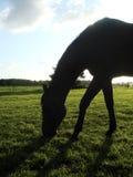 Siluetta del cavallo Immagini Stock Libere da Diritti