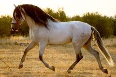Siluetta del cavallo Immagini Stock