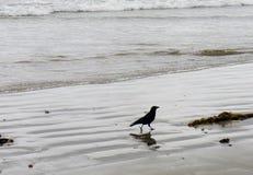Siluetta del corvo americano che cammina su una spiaggia Immagini Stock