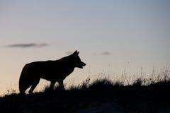 Siluetta del coyote sulla prateria Fotografie Stock